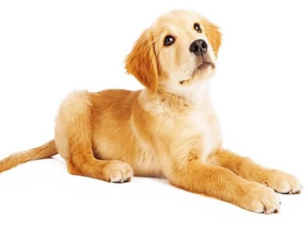 Mơ thấy chó vàng là điềm lành hay dữ?