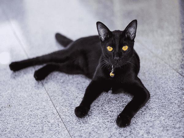 Giải mã giấc mơ thấy mèo đen điềm gì, đánh con số đề nào