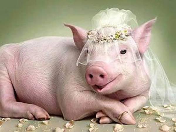 Mơ thấy lợn có ý nghĩa gì và con số may mắn