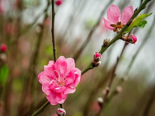 Mơ thấy hoa đào báo điềm gì - mơ thấy hoa đào đánh con gì